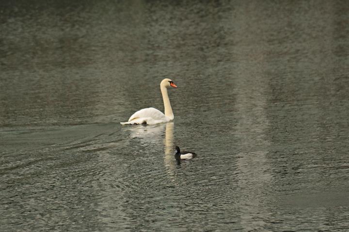 白鳥とキンクロ.jpg