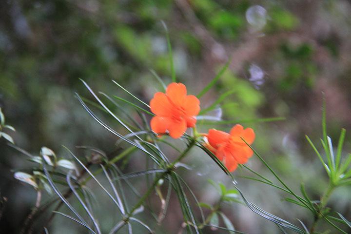 石楠花2.jpg