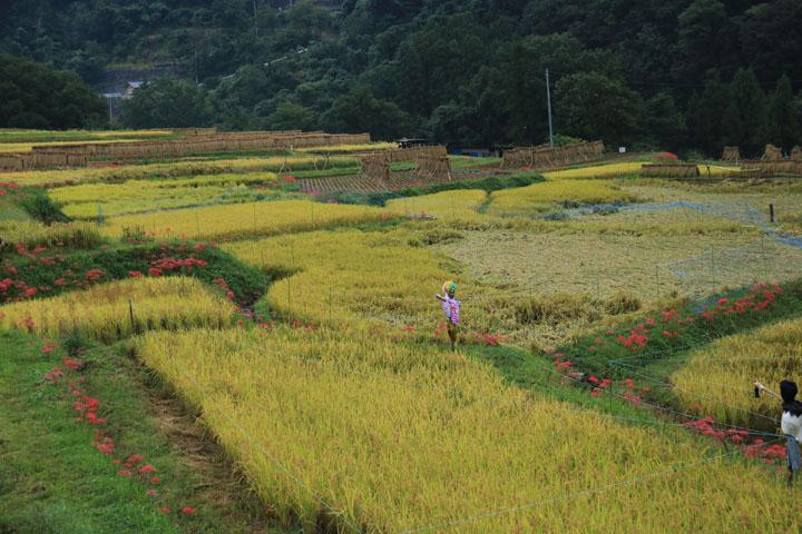 稲と案山子.jpg
