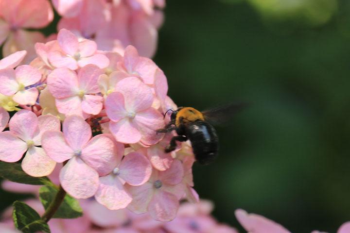 紫陽花とクマンバチ.jpg