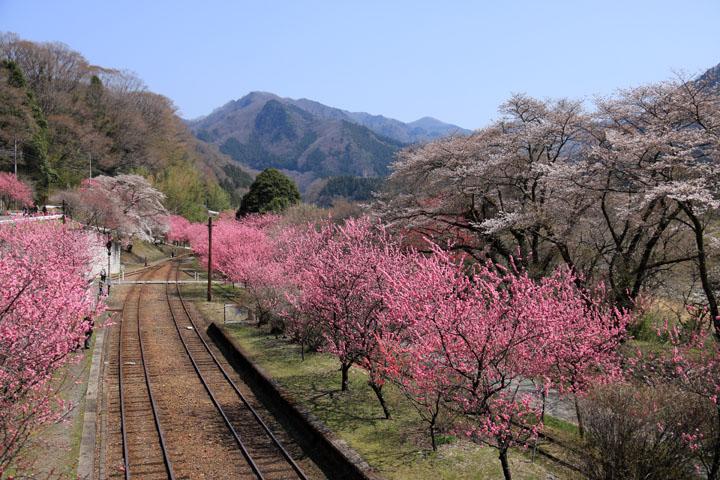 花桃と桜.jpg