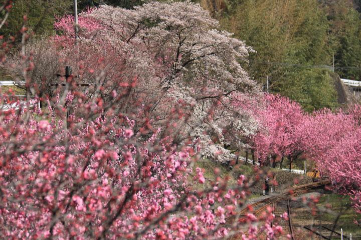 花桃と桜3.jpg