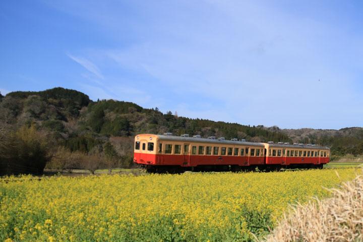 菜の花と電車.jpg