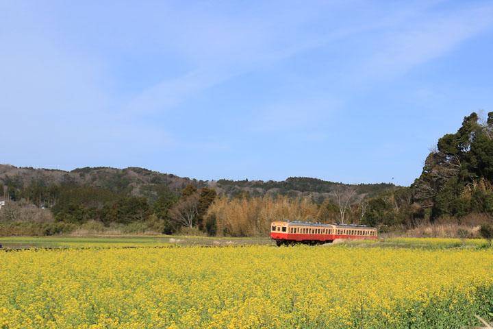 菜の花と電車2.jpg