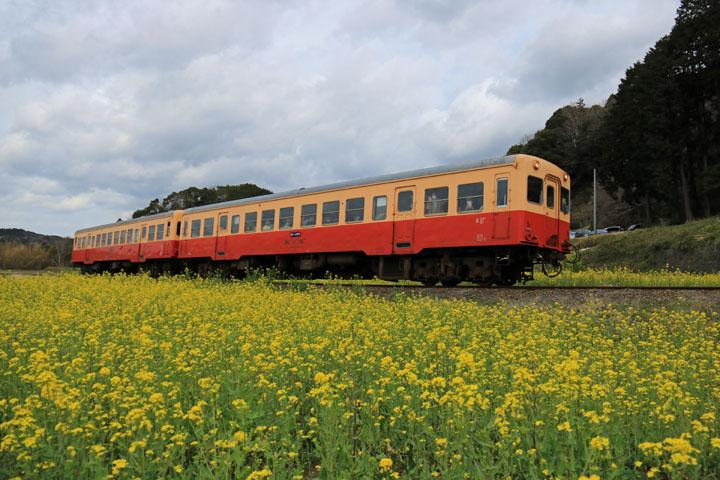 菜の花と電車3.jpg