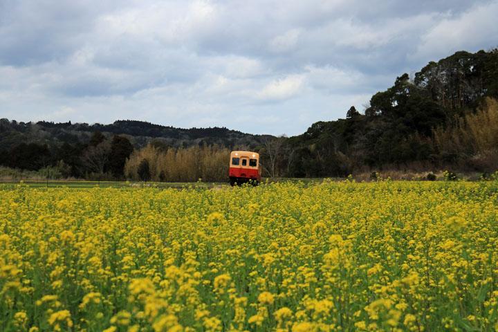 菜の花と電車4.jpg