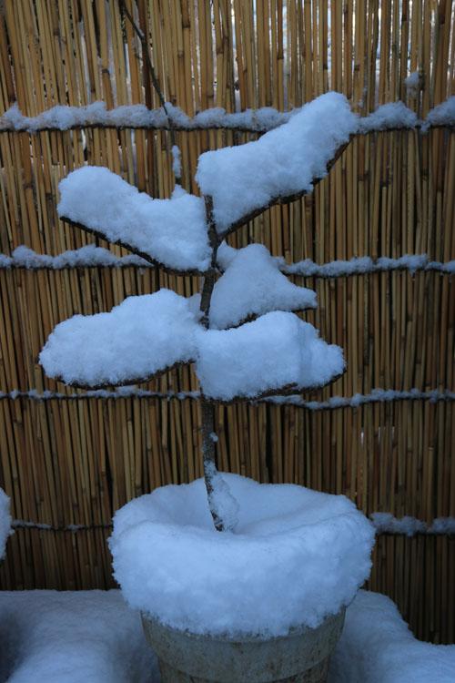 雪の盆栽.jpg