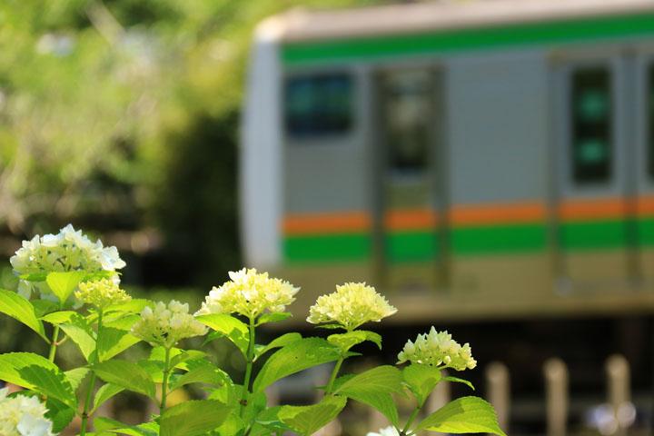 電車と紫陽花.jpg