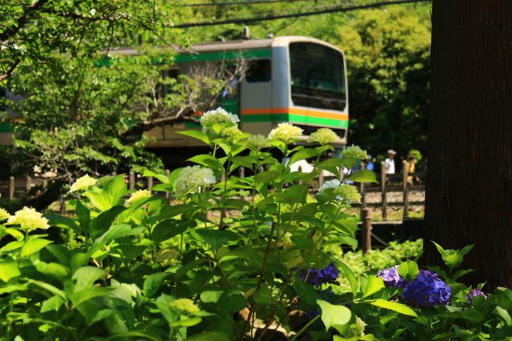 電車と紫陽花2.jpg