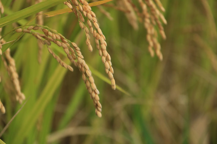 首を垂れる稲.jpg